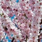 Japanse Kersenbloesems