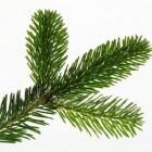 Waarom is de Nordmann-spar zo populair als kerstboom?