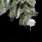 Hoe kun je naalduitval van de kerstboom voorkomen?