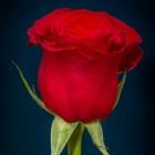Valentijnsdag en de roos