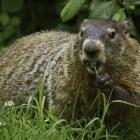 Groundhog Day, wat is het precies en waar komt het vandaan?