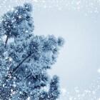 Een kerstboom kopen - de wetenswaardigheden