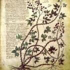 De Materia Medica van Dioscorides