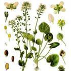 Lepelblad en scheurbuik