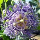 Passiflora, geschiedenis van een geneeskruid