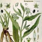 Smeerwortel in Middeleeuwen en daarna