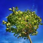 Boomfeestdag - Koningsboom en Koningslinde voor de Koning