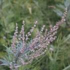 Bijvoet, een plant met een verleden