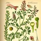 Folklore van wilde planten: Over Duivekervel