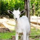 De geitenwollen sok: de sok, de sik en het symbool