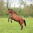 Americo, het paard van Sinterklaas