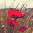 WO I: Poppy Day of Remembrance (Sun)Day